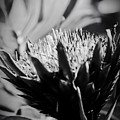 King Protea Exotic Tropical Flowers by Sharon Mau