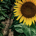 King Sunflower From Long Island, New York by Alissa Beth Photography