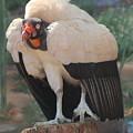 King Vulture 1 by Susan Heller