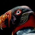 King Vulture by Amarildo Correa