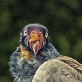 King Vulture by Martin Newman