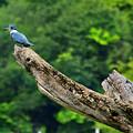 Kingfisher by Bibi Rojas