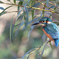 Kingfisher In Willow by Peter Walkden