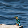 Kingfisher On The Dock by Cliff Norton