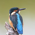 Kingfisher by Peter Walkden