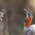 Kingfisher With Fish by Bob Kemp