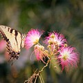 Kiss Of Butterfly by Francis Palladino