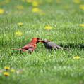 Kissing Cardinals by Barbara Treaster