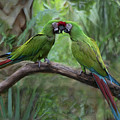 Kissing Macaws by Jeff Breiman