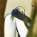 Kissing Pennguins by Anup Kumar Chalamalla