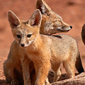 Kit Fox Mother Looking Over Pup by Max Allen