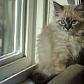Kitten Daydreams by Cindy Johnston
