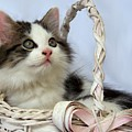 Kitten In Basket by Jai Johnson
