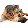 Kitten Laying On German Shepherd by Susan Schmitz