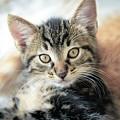 Kitten Looking by Tetyana Ustenko