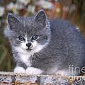 Kitten On Tree Stump by Rolf Kopfle