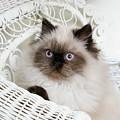Kitten Portrait by Crystal Garner