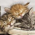 Kittens Asleep On Shoes by Jean-Michel Labat