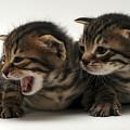 Kittens  by Yedidya yos mizrachi