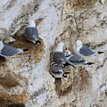 Kittiwakes Tend Their Chicks At Rspb Bempton Cliffs by Louise Heusinkveld
