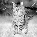 Kitty In The Grass - Black And White Sketch by Ericamaxine Price