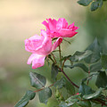 Knock Out Rose by Edward Gallegos