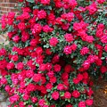Knockout Red Rosebush by Kathryn Meyer