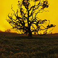 Koa Tree Silhouette by Carl Shaneff - Printscapes