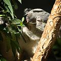 Koala Bear 3 by Anthony Jones