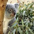 Koala Bear I by Keith Lovejoy