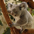Koala Bear II by Keith Lovejoy