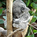 Koala by Carol  Bradley