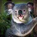 Koala by Doug Sturgess