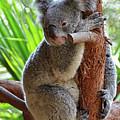 Koala Mama by Ronda Ryan