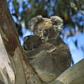 Koala Phascolarctos Cinereus Mother by Konrad Wothe