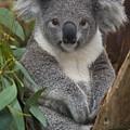 Koala Phascolarctos Cinereus by Zssd