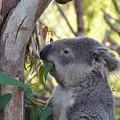 Koala Time by Chad Kroll