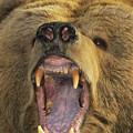Kodiak Bear Ursus Arctos Middendorffi by Matthias Breiter