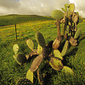 Kohala Cactus by Steve Rosenberg - Printscapes