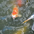 Koi And Great Blue Heron by Rich Bodane