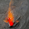 Koi  At Byodo Temple by Neil Doren