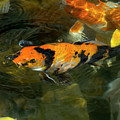 Koi Fish Blowing Bubbles by Amy Sorvillo
