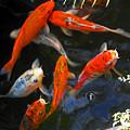 Koi Fish II by Elizabeth Hoskinson