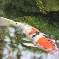 Koi Fish by Marta Robin Gaughen
