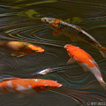 Koi by Kathy Russell