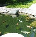 Koi Pond 8 Japanese Friendship Garden by Phyllis Spoor
