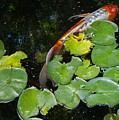 Koi With Lily Pads A by Phyllis Spoor