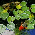 Koi With Lily Pads D by Phyllis Spoor