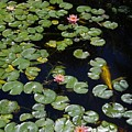 Koi With Lily Pads E by Phyllis Spoor