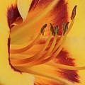 Kokomo Sunset 05 - Daylily by Pamela Critchlow